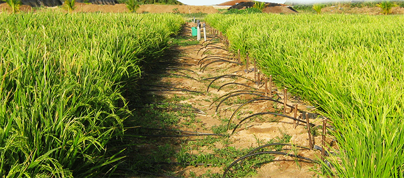 A strip of earth in a crowded rice field displays the JAIN drop irrigation system, an alternative to flood irrigation