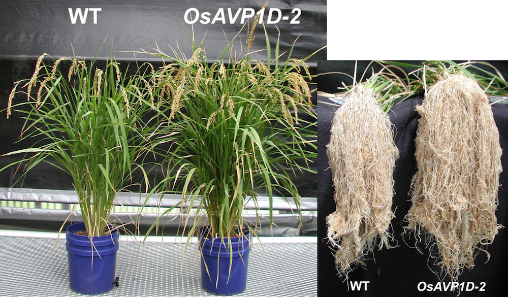 photo comparing control and transgenic plant growth