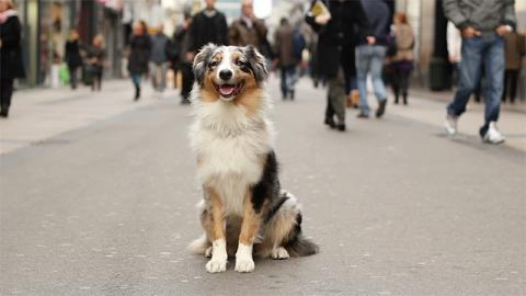 Australian shepherd on a sidewalk